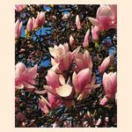 Title: That Enchanting Time Of Magnolias - II -Canon PowerShot S5 IS
