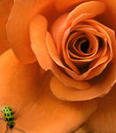 Title: a rose with a visitorNikon D100