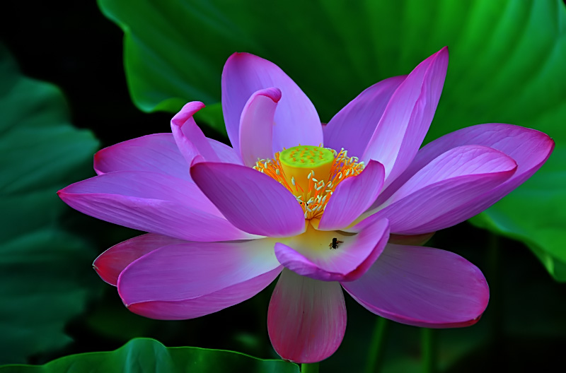 a lotus morning