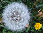 Title: Two DandelionsFujifilm FinePix S9500
