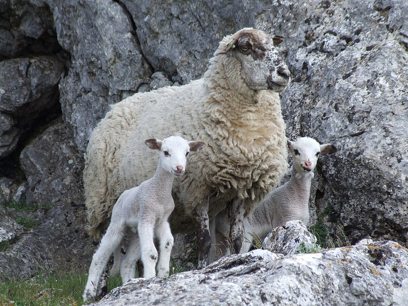 The lost sheep with lambs