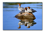 Title: Common Mergansers