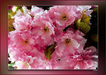 Title: .....spring in pink.