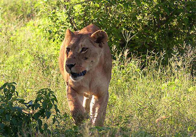 lioness in Chobe Park