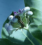 Title: monarch on milkweedLumix FZ200