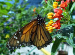 Title: monarch at lunchLumix FZ200