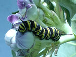 Title: monarch caterpillarLumix FZ48