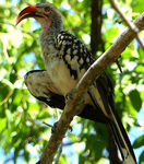 Title: red-billed hornbillLumix FZ200