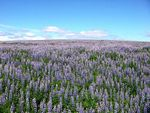Title: The Sea of LupinsCanon PowerShot A60