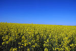 Title: Yellow Fields of DenmarkNikon D70