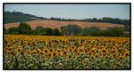 Title: Sunflowers from MontalcinoNikon D300 w/MB-D10