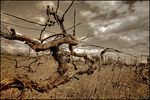 Title: Japanese motives of vineyards of MoldovaCanon EOS 20D