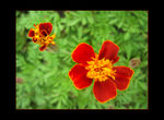 Title: Red flowers