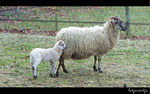 Title: sheep with lamb