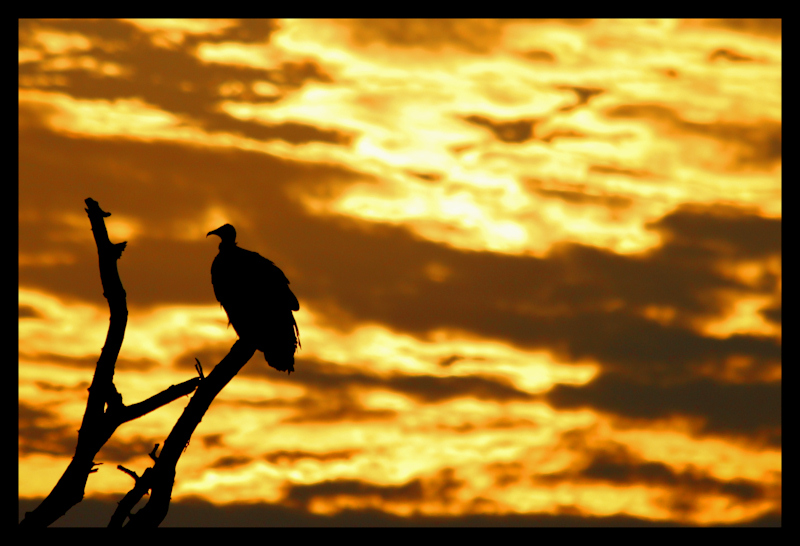 Vulture and Sunset