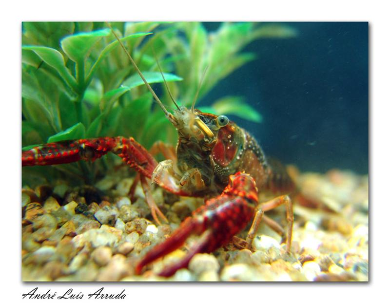 My Timothy Lobster