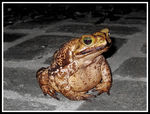 Title: Big Frog in my Yard30D