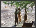 Title: Goats and Argan Tree