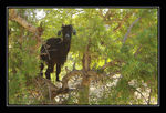 Title: Goat on the Tree