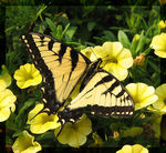 Title: Tiger Swallowtail 07Canon PowerShot S2 IS