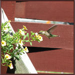 Title: Female Hummer 2Canon PowerShot S2 IS