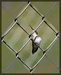 Title: Hummer on the Fence 2