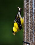 Title: Goldfinch