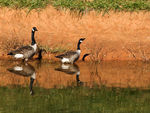 Title: Geese, Reflections, & ShadowsOLYMPUS E410