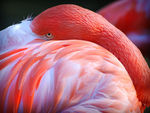 Title: Bashful FlamingoNikon D80 Digital SLR