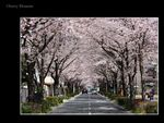 Title: Cherry blossom 4-My streetCanon EOS 40D