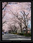 Title: Cherry blossom 5