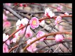 Title: First blossom(2)Canon EOS 40D