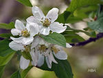 Title: Apple blossomPanasonic DMC GF3