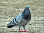 Title: Pigeon