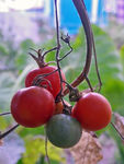 Title: Last cherry tomatoPentax W90
