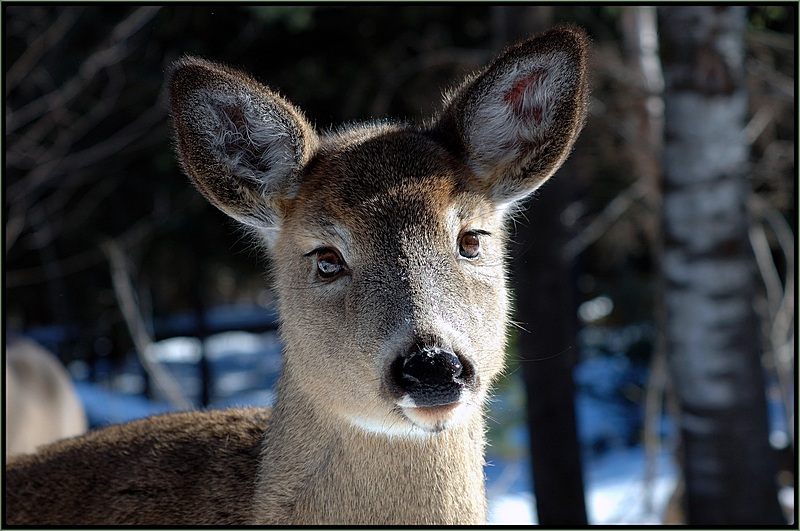 A Fawn for lilimih33