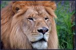 Title: Panthera leo for PerryhooterNikon D70s Digital SLR