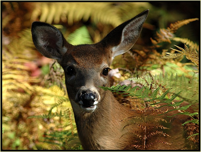 Fawn in the Ferns