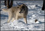 Title: Grey wolf Hunting