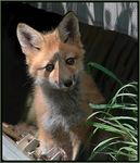 Title: Red Fox PupNikon D70s Digital SLR