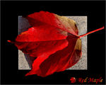 Title: RED  MAPLE