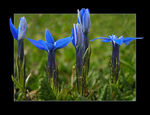 Title: Spring Gentiana