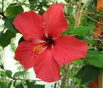 Title: Red HibiscusCanon Powershot A610