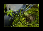 Title: another frog...Nikon D-70